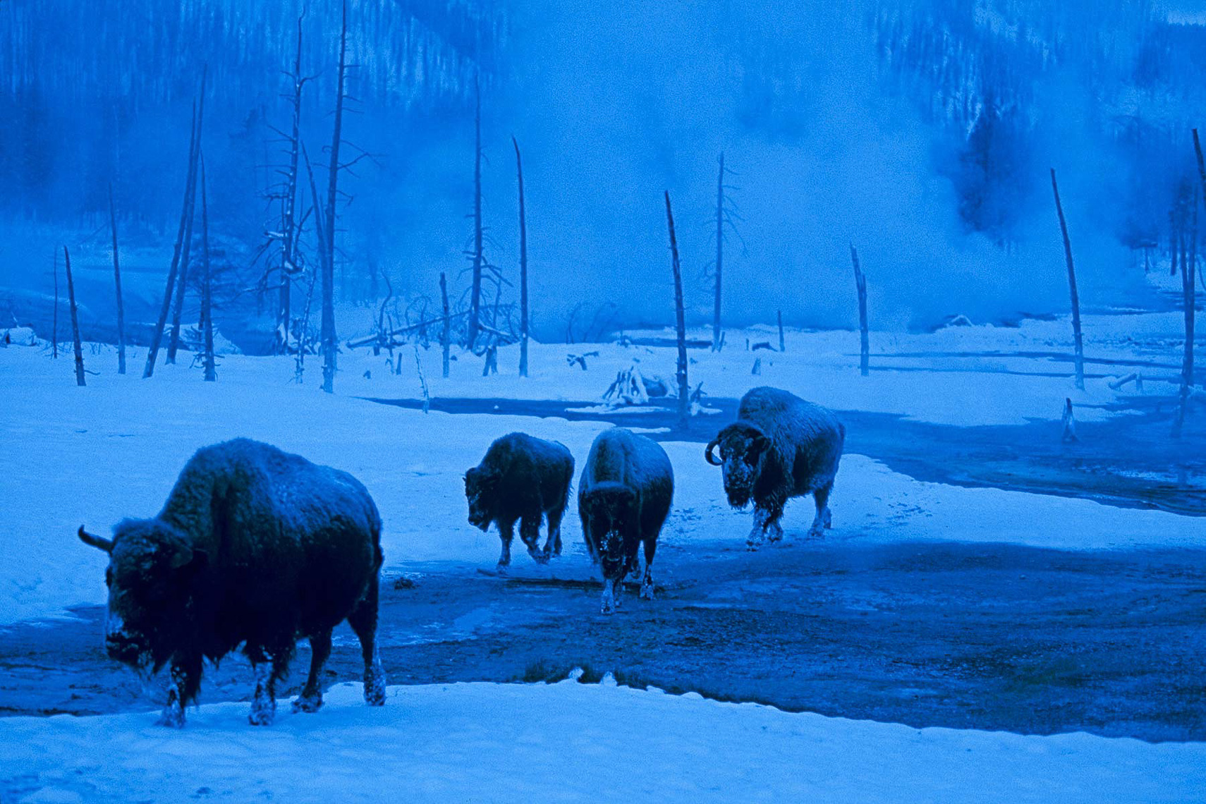 037-Bison-Yellowstone-Blue